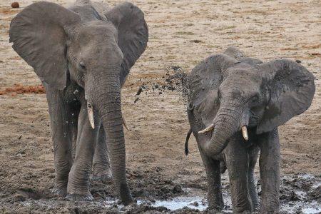 Young elephants Timbavati