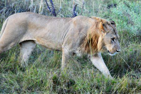 Young male lion near Kanana Camp
