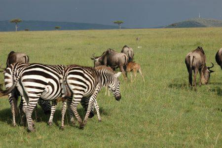 Zebra and Wildebeest - Maasai Mara
