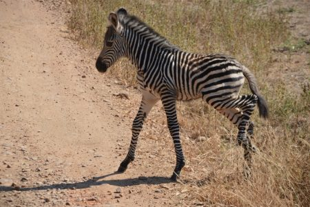 Zebra crossing South Luangwa