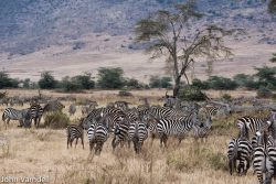 Safari Club - Zebra herd in Ngorongoro Crater