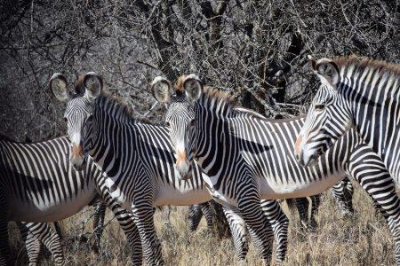 Zebra in Laikipia Plateau