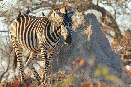 Zebra in Timbavati