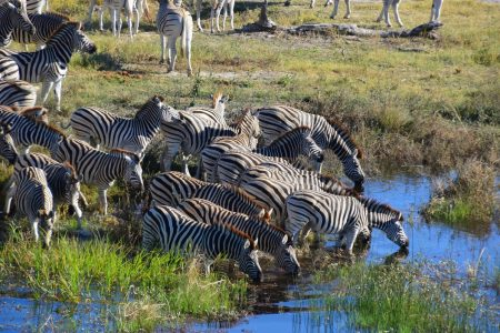 Zebra migration Makgadikgadi