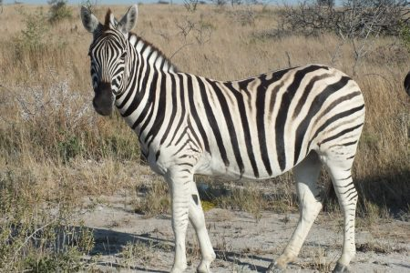 Zebra of Namibia