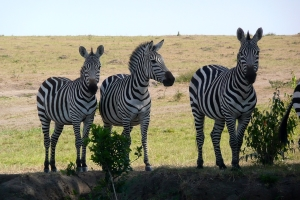 Safari Club - zebra threesome