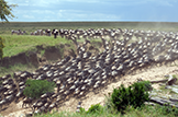 Safari Club - Kenya migration scene