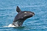 Safari Club - South Africa whale