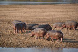Safari Club - Hippos on beach South Luangwa