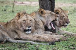 Safari Club - Lions of the Serengeti