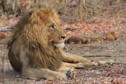 Safari Club - Male lion Timbavati